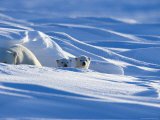 Polar Bear with Cubs, (Ursus Maritimus), Churchill, Manitoba, Canada Photographic Print by Thorsten Milse