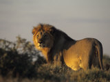 Lion, (Panthera Leo), Etoscha National Park, Namibia Photographic Print by Thorsten Milse