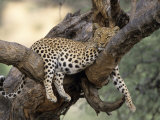 Leopard, (Panthera Pardus), Duesternbrook Private Game Reserve, Windhoek, Namibia Photographic Print by Thorsten Milse