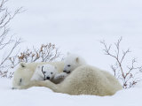 Polar Bear with Cubs, Ursus Maritimus, Churchill, Manitoba, Canada Photographic Print by Thorsten Milse
