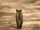 Bengal Tiger, Panthera Tigris Tigris, Bandhavgarh National Park, Madhya Pradesh, India, Asia Fotografie-Druck von Thorsten Milse