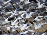 Snow Goose, Anser Caerulescens, Bosque Del Apache, Soccoro, New Mexico, USA Photographic Print by Thorsten Milse
