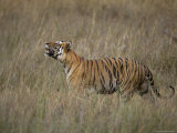 Bengal Tiger, (Panthera Tigris), Bandhavgarh, Madhya Pradesh, India Photographic Print by Thorsten Milse