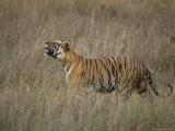 Bengal Tiger, (Panthera Tigris), Bandhavgarh, Madhya Pradesh, India Photographic Print by Thorsten Milse