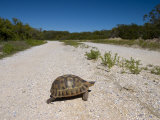 Geometric Tortoise (Psammobates Geometricus), West Coast, South Africa, Africa Photographic Print by Thorsten Milse