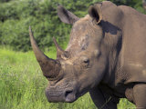 White Rhino, Pilanesberg Game Reserve, North West Province, South Africa, Africa Photographic Print by Ann & Steve Toon