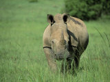 White Rhinoceros (Rhino), Ceratherium Sumum, Itala Game Reserve, Kwazulu-Natal, South Africa Photographic Print by Ann & Steve Toon