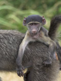 Young Chacma Baboon, Riding on Adult's Back, Kruger National Park, Mpumalanga, South Africa Photographic Print by Ann & Steve Toon