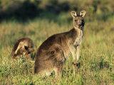 Eastern Grey Kangaroos, Macropus Giganteus, Wilson's Promontory National Park, Victoria, Australia Photographic Print by Ann & Steve Toon