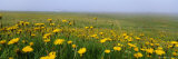 Panoramic View, Corn Marigolds, Fair Isle, Shetland Islands, Scotland, UK, Europe Photographic Print by David Tipling