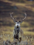 Red Deer Stag in Autumn, Glen Strathfarrar, Inverness-Shire, Highland Region, Scotland Photographic Print by Ann & Steve Toon