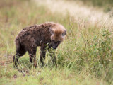 Young Spotted Hyena, Picking up a Scent, Kruger National Park, Mpumalanga, South Africa Photographic Print by Ann & Steve Toon