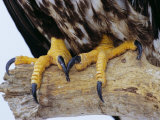 Close up of the Feet and Talons of a Bald Eagle, Alaska, USA, North America Photographie par David Tipling