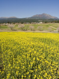 Field of Yellow Rape Seed Flowers and Cherry Trees Beyond, Kyushu, Japan Photographic Print by Chris Kober