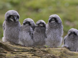 Chicks of Northern Hawk Owl, Native to Scandinavia and Eurasia, Captive, England, United Kingdom Photographic Print by Ann & Steve Toon