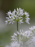 Close-Up of Wild Garlic Flower, Lancashire, England, United Kingdom Photographic Print by Ann &amp; Steve Toon