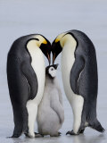 Emperor Penguin Chick and Adulta, Snow Hill Island, Weddell Sea, Antarctica, Polar Regions Fotografisk tryk af Thorsten Milse