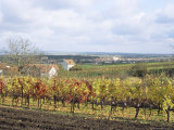 Vines at Vineyard in Autumn, Brnensko, Czech Republic Photographic Print by Richard Nebesky