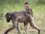 Young Chacma Baboon Riding on Adult's Back in Kruger National Park, Mpumalanga, Africa Photographic Print by Ann & Steve Toon