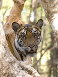 Indian Tiger (Bengal Tiger) (Panthera Tigris Tigris), Bandhavgarh National Park, India Photographic Print by Thorsten Milse