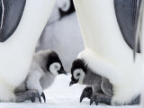 Emperor Penguin Chicks, Snow Hill Island, Weddell Sea, Antarctica, Polar Regions Photographic Print by Thorsten Milse
