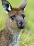 Kangaroo Island Kangaroo, (Macropus Fuliginosus), Flinders Chase N.P., South Australia, Australia Photographic Print by Thorsten Milse