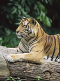 Sumatran Tiger, in Captivity at Singapore Zoo, Singapore Photographic Print by Ann & Steve Toon
