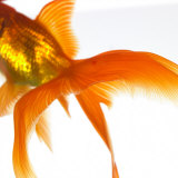 Detail of a Goldfish Tail Photographic Print by Mark Mawson