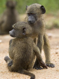 Young Chacma Baboons Playing, Kruger National Park, Mpumalanga, South Africa, Africa Photographic Print by Ann & Steve Toon