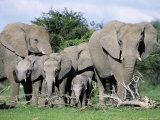 African Elephants, Loxodonta Africana, Maternal Group with Baby, Etosha National Park, Namibia Photographic Print by Ann &amp; Steve Toon