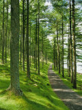 Path and Sunlight Through Pine Trees, Burtness Wood, Near Buttermere, Cumbria, England Photographic Print by Neale Clarke