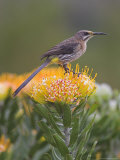 Cape Sugarbird, Promerops Cafer, Perched on Pincushion Protea, Cape Town, South Africa Photographic Print by Ann & Steve Toon