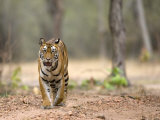 Female Indian Tiger (Bengal Tiger) (Panthera Tigris Tigris), Bandhavgarh National Park, India Photographic Print by Thorsten Milse