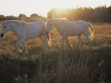 Camargue Horses, La Petite Camargue, in the Region of Aigues-Mortes, Languedoc-Roussillon, France Photographic Print by J P De Manne