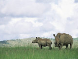 White Rhinoceros (Rhino), Ceratotherium Simum, Itala Game Reserve, Kwazulu-Natal, South Africa Photographic Print by Ann &amp; Steve Toon