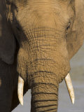 Elephant, Eastern Cape, South Africa Photographic Print by Ann & Steve Toon