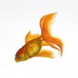 Złote rybki Reprodukcja zdjęcia autor Mark Mawson