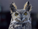 Close-Up of a Greeat Horned Owl, Bubo Virginiarius, Colorado Photographic Print by James Gritz