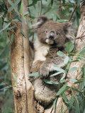 Koala Bear, Phascolarctos Cinereus, Among Eucalypt Leaves, South Australia, Australia Fotografisk tryk af Ann & Steve Toon