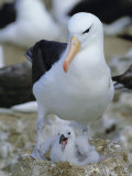 Black-Browed Albatross Adult at Nest with Chick, Steeple Jason Island, South Atlantic Photographic Print by David Tipling