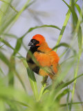 Southern Red Bishop (Euplectes Orix), North West Game Reserve, South Africa Photographic Print by Ann & Steve Toon