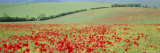 Poppies on the South Downs, Sussex, England, UK, Europe Photographic Print by John Miller