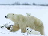 Polar Bear Mother with Triplets, Wapusk National Park, Churchill, Manitoba, Canada Photographic Print by Thorsten Milse