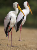 Yellow-Billed Storks, in Breeding Plumage on Riverbank, Kruger National Park, South Africa, Africa Photographic Print by Ann & Steve Toon
