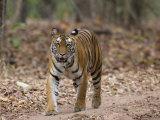 Female Indian Tiger (Bengal Tiger) (Panthera Tigris Tigris), Bandhavgarh National Park, India Photographic Print by Thorsten Milse