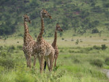 Three Giraffes, Pilanesberg Game Reserve, North West Province, South Africa, Africa Photographic Print by Ann & Steve Toon