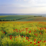 Poppies on the South Downs, Sussex, England Photographic Print by John Miller