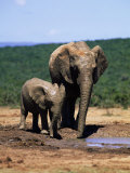African Elephants, Loxodonta Africana, Mother and Young, Eastern Cape, South Africa Photographic Print by Ann & Steve Toon