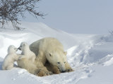 Polar Bear Mother with Twin Cubs, Wapusk National Park, Churchill, Manitoba, Canada Photographic Print by Thorsten Milse