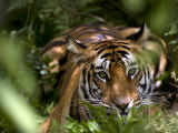 Female Indian Tiger at Samba Deer Kill, Bandhavgarh National Park, India Fotografiskt tryck av Thorsten Milse